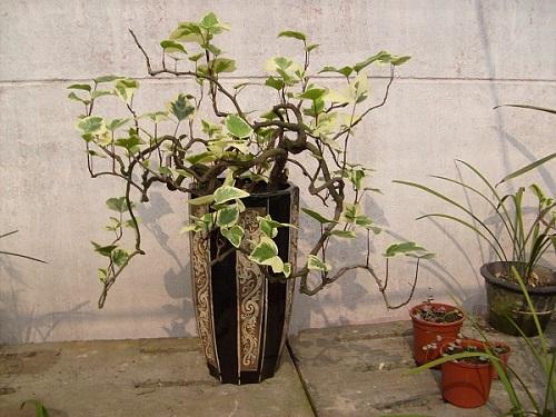 常春藤防辐射植物
