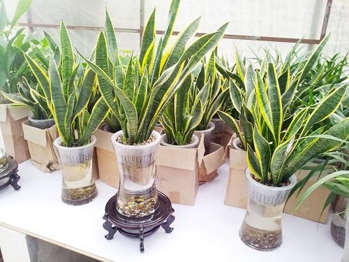 虎尾兰防辐射植物