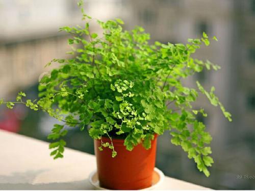 防辐射植物铁线蕨
